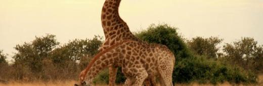 Battle Giraffe