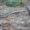 Legless Lizard is a Snake