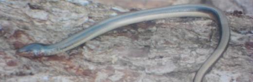 Legless Lizard is a Snake