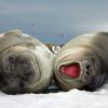 Wedding Bells and Elephant Seals