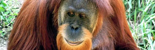 Orangutong eat banano?