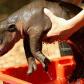 baby-hippo_1109673i